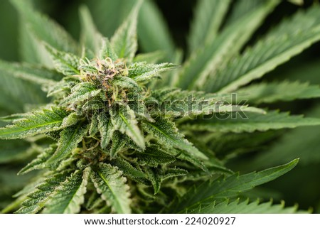 Macro photo of marijuana plant bud with crystals. View from above. Color toned image. Selective focus. - stock photo