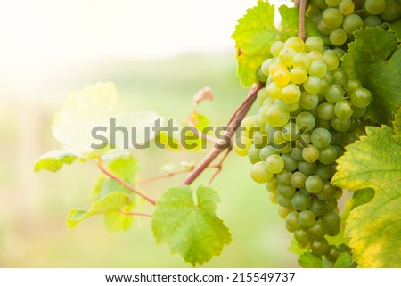 Macro photo of white wine grapes, low depth of focus - stock photo