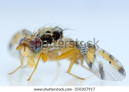 Macro photograph of a fruit fly isolated on a plain background - stock photo