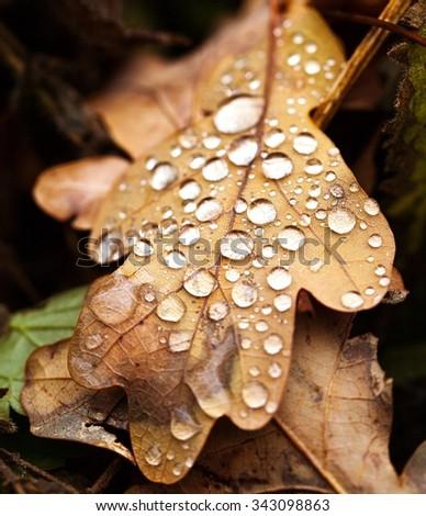 macro photography of rain drops on oak leaf - stock photo