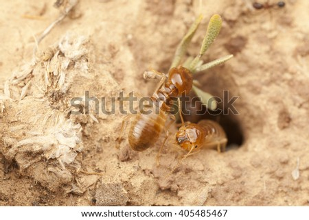 Macro photography of small hole with the termites on the ground in Morocco, several workers waiting in the entrance to the nest, and one termite is working - stock photo