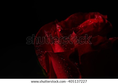 Macro picture of red rose with dew droplets, dramatic lighting on black background in studio. Selective focus. Lights and shadows. Perfection of nature. Purity - stock photo
