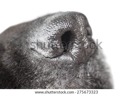 Macro picture with a black dog nose. - stock photo