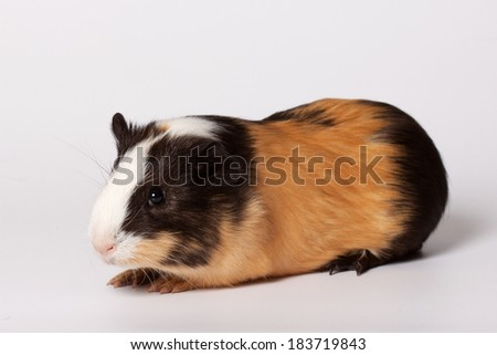 Macro portrait of small colored guinea pig - stock photo