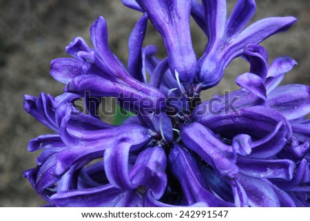 macro purple flower, Hyacinth flower - stock photo