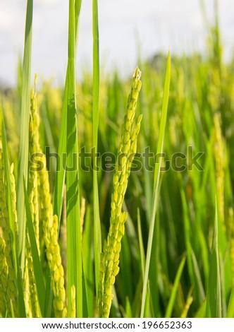 macro rice field on sky background. Shallow depth of field - stock photo