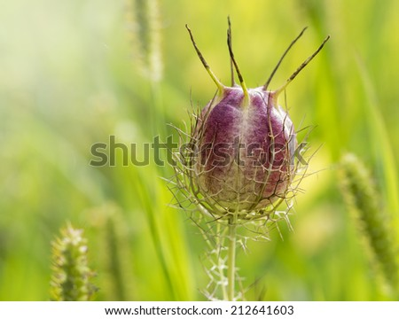 Macro seed capsule of Nigella damascena flower head, known as love-in-a-mist or ragged lady - stock photo