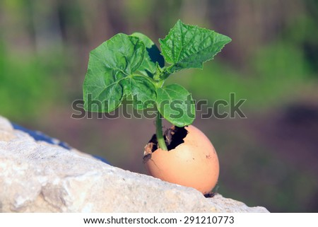 macro seedling of cucumbers in the eggshell, standing on a stone on a background of spring garden - stock photo