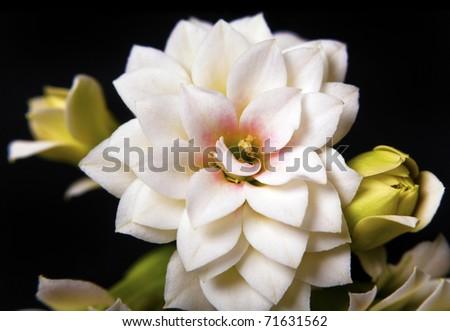 Macro shoot of beautiful white Dahlia flower, on black background - stock photo