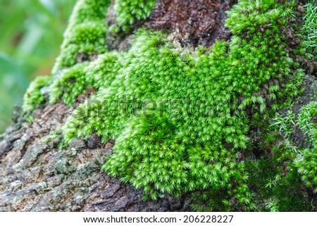 Macro shot at moss on a tree in tropical highland forest, Chaiyaphum, Thailand. - stock photo