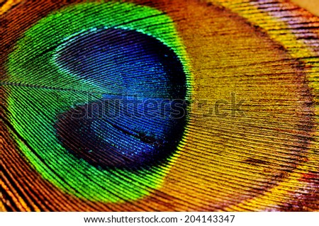 Macro shot detail of colorful peacock feather texture - stock photo