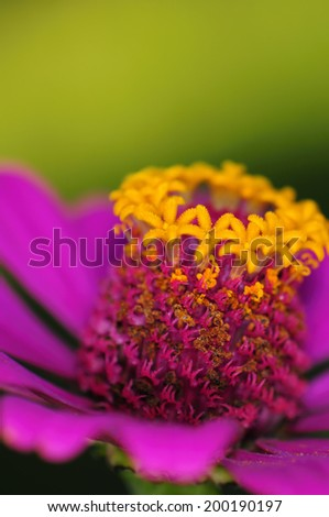 Macro shot detail of colorful pink daisy flower - stock photo