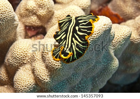Macro shot of a black and yellow flatworm which  keeps a close profile to the coral upon which it is crawling.  It exhibits the characteristic flat unsegmented body with a simple head end. - stock photo