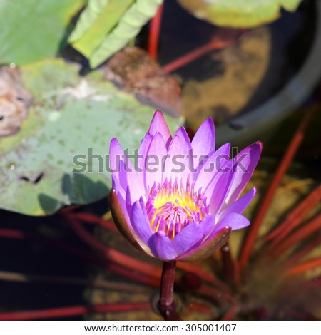 Macro shot of a blooming tropical water lily (Nymphaea) with a bloom in magenta and yellow.  - stock photo