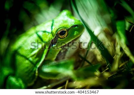Macro shot of a European tree frog, hiding in the grass. - stock photo