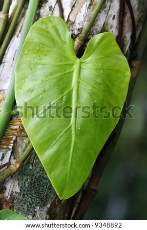 Macro shot of a fresh green leaf after rain. - stock photo