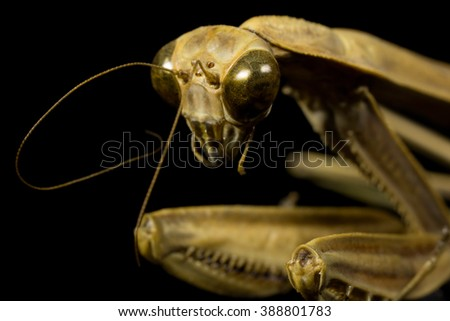 Macro shot of a Mantodea (Praying Mantis) Isolated on a Pure Black Background - stock photo
