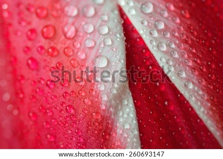 Macro shot of a red tulip with dew drops - stock photo