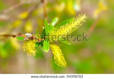 macro shot of blooming willow tree. Salix caprea. summertime - stock photo