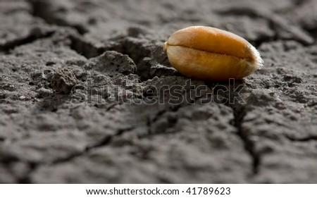 Macro shot of golden corn on dry soil - stock photo