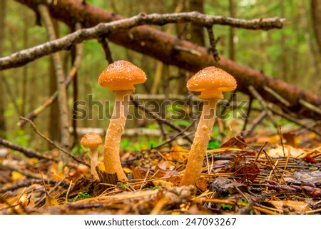 macro shot of honey agaric in autumn forest - stock photo
