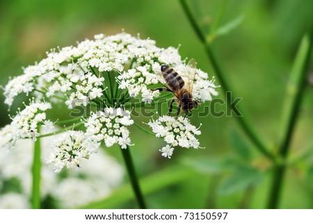 Macro shot of  Honey Bee gathering pollen from  white flower. - stock photo
