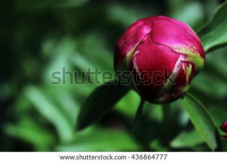 Macro shot of peony bud, beautiful vivid purple flower - stock photo