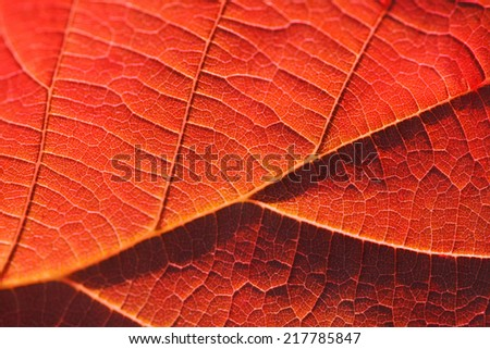 Macro shot of red autumn leaf - stock photo