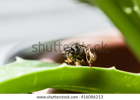 Macro shot of the common aerial yellowjacket insect(Dolichovespula Arenaria), also known as sandhills hornet and common yellow hornet. Copy space. - stock photo