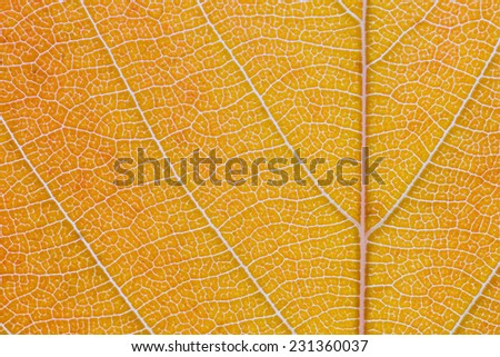 Macro shot of the lamina of a tree leaf turning from orange into a light brown. Midrib and veins clearly visible. - stock photo