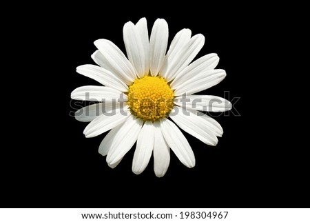 Macro shot of white daisy flower against black background    - stock photo