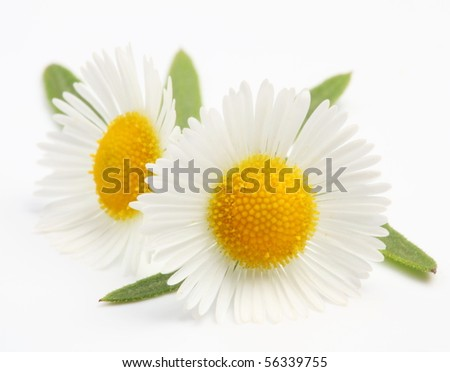 Macro shot of wild camomiles over white - stock photo