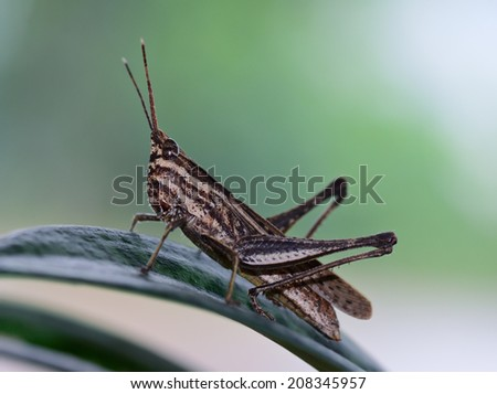 macro side view of  brown  and light yellow grasshopper standing on green leaf ; selective focus at eye with blur background - stock photo