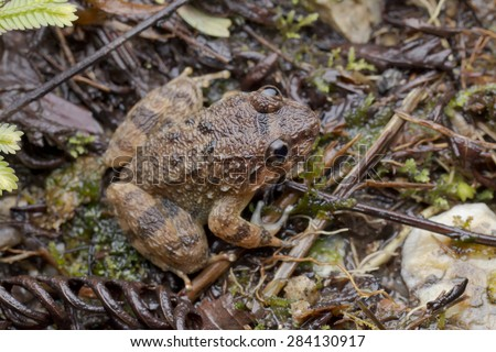 Macro top view image of a Corrugated Frog from Malaysia - stock photo