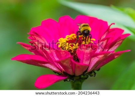 Macro view of a pink zinnia flower against smooth green background. A bee sits and feeds in the heart of the flower. It gathers the golden honey-dew. - stock photo
