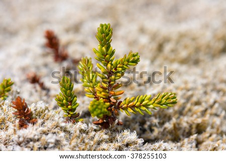 Macro view of Black Crowberry leaves. Iceland. - stock photo