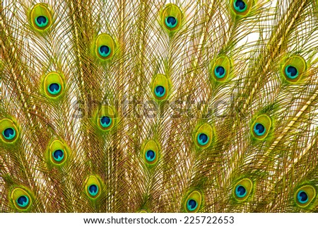 Macro view of peacock's tail background - stock photo