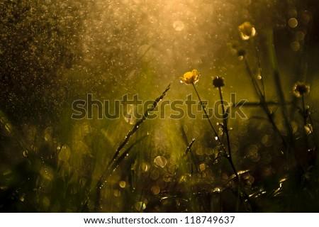 Macro view of wildflower in rain and sunset. - stock photo