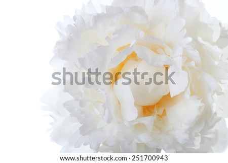 macro white peony with yellow at the center - stock photo