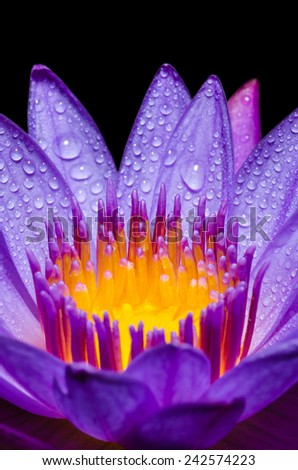 Macro yellow carpel and water drops in purple Lotus or Water Lily flower on black background - stock photo
