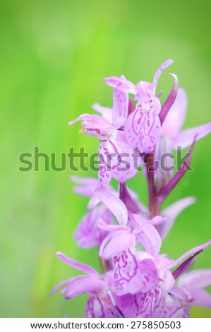 macrophotography of Heath Spotted Orchid (dactylorhiza maculata). cross processed image. - stock photo