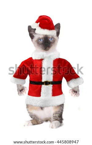 Mad Angry Siamese Cat Wearing a Santa Claus Suit - stock photo