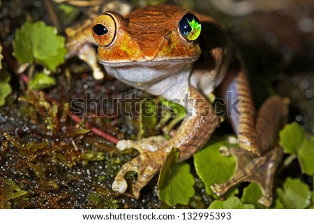 Madagascar Bright-eyed Frog or Madagascan Treefrog (Boophis madagascariensis) in the Ranomafana rainforest of Madagascar. This individual has a rare condition resulting in an underdeveloped left eye. - stock photo