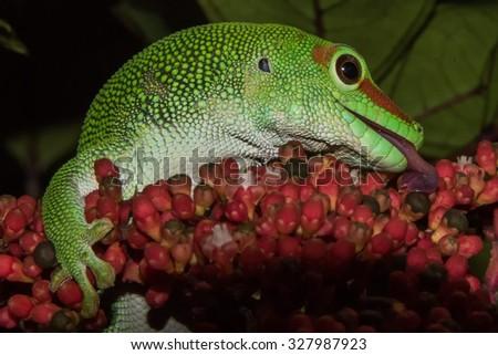 madagascar gold day dust gecko portrait - stock photo