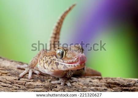 Madagascar Ground Gecko - stock photo