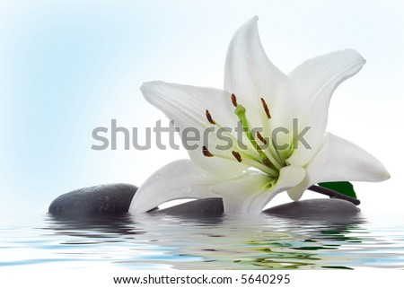 madonna lily and spa stone in water on white - stock photo