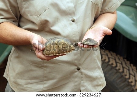 MAGALIESBERG, SOUTH AFRICA - October 14: Dehorning of rhinos in Askari Game Lodge October 14, 2015 in Magaliesberg, South Africa. Dep. of Nature Conservation representative showing pieces of horn. - stock photo