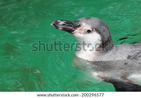Magellanic penguin, Atlantic Coast, Patagonia, Argentina  - stock photo