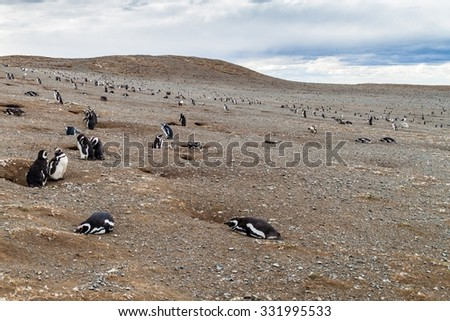 Magellanic Penguin colony on Isla Magdalena island in Magellan Strait, Chile - stock photo