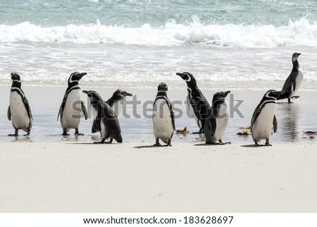 Magellanic Penguin - Spheniscus magellanicus - Falkland Islands / Magellanic Penguins on the beach - stock photo
